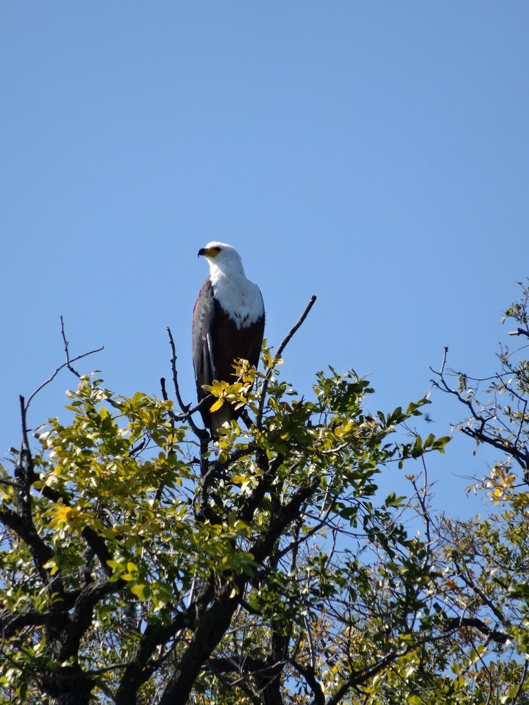 African Fish Eagle scanning for prey or threats.
