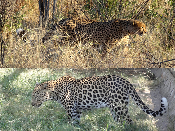 Cheetah (top) and Leopard (bottom), roughly to scale.