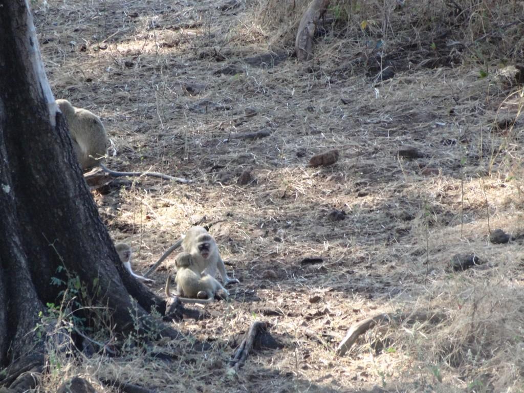 Vervet monkeys on the shore of the Chobe