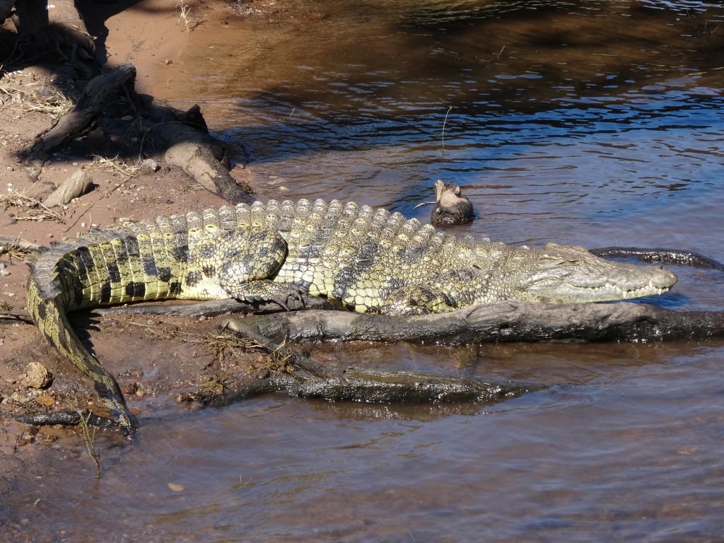Crocodile sunning.
