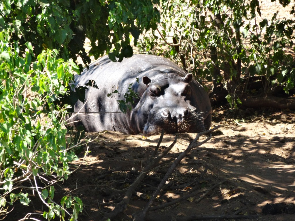 A Hippopotamus in the morning. Botswana 2014.