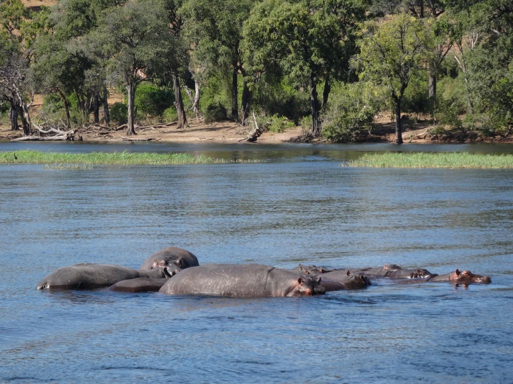 A pod of Hippopotamus in the Chobe River, Botswana.