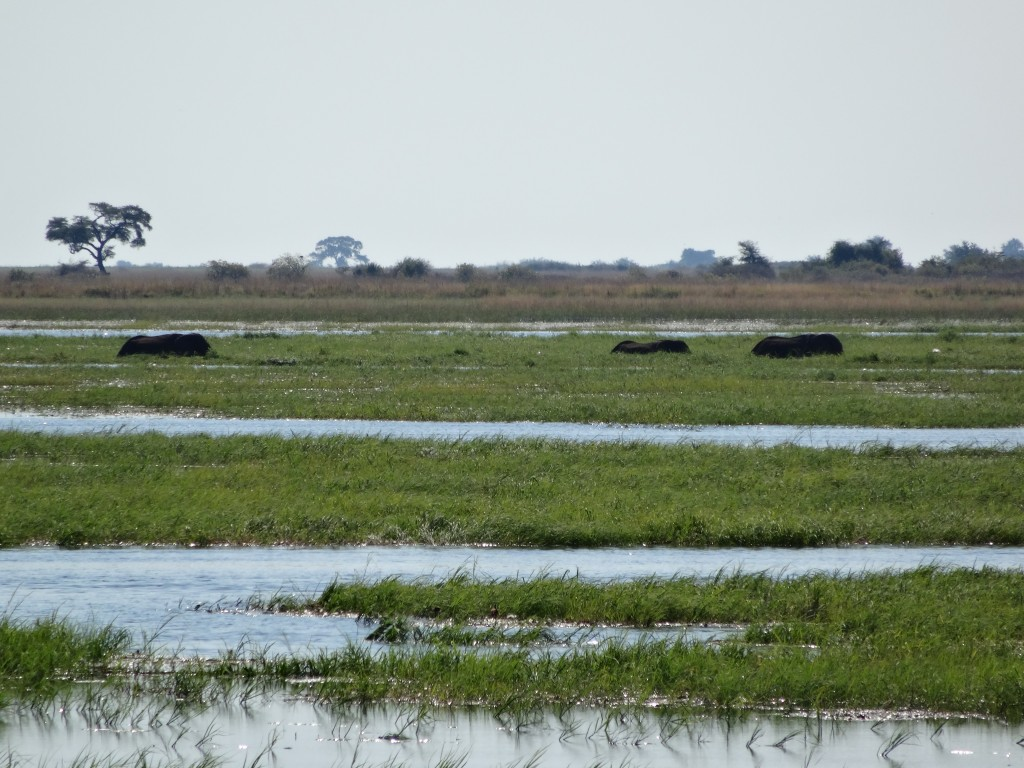 African Elephants in the marsh grasses.