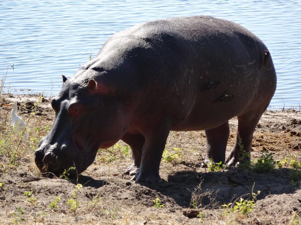 Hippopotamus on shore