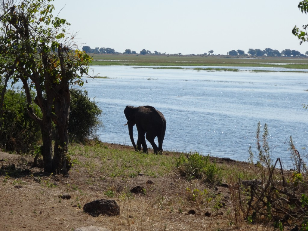 African Elephant bull by the water.