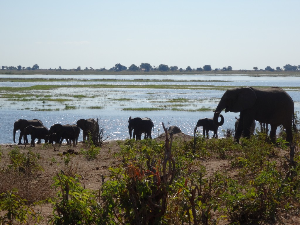 African Elephant herds at the shore.
