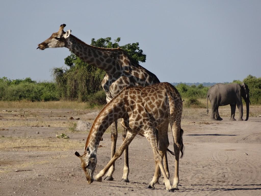 Giraffes in the dirt road. Botswana 2014.
