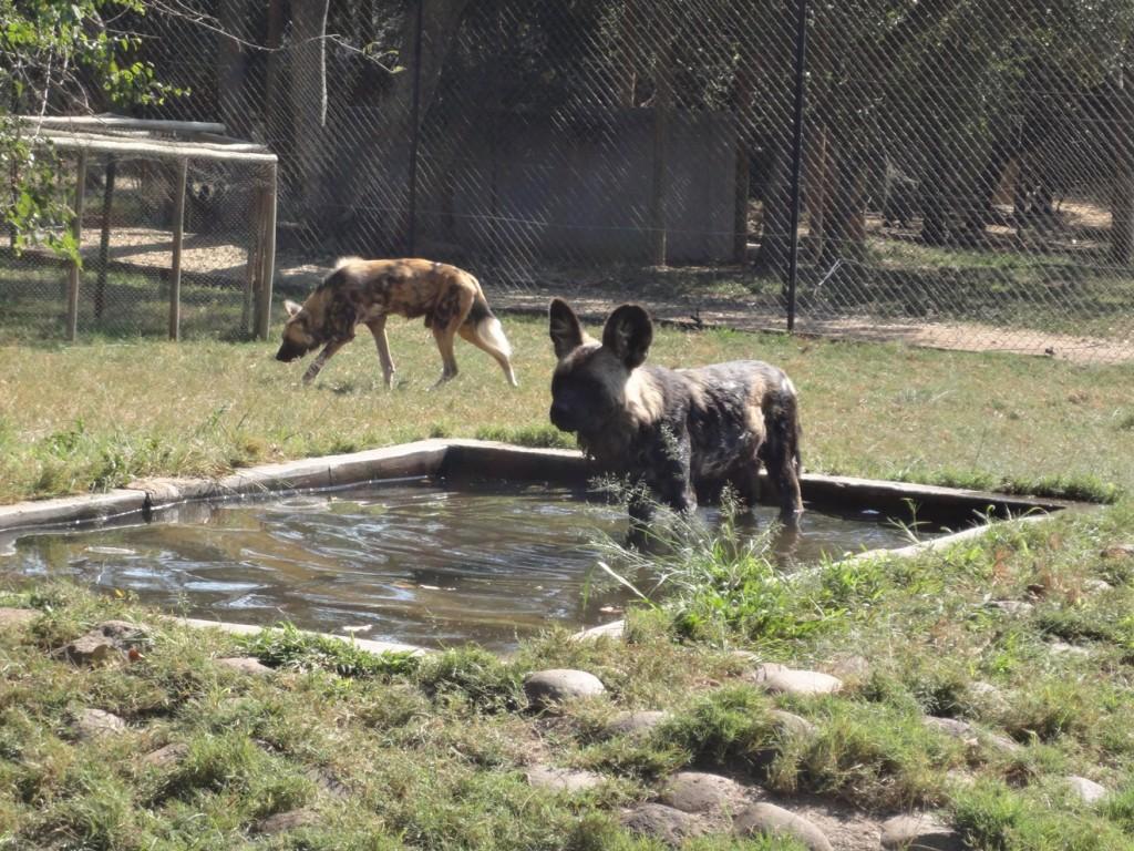 Moholoholo-wild_dogs