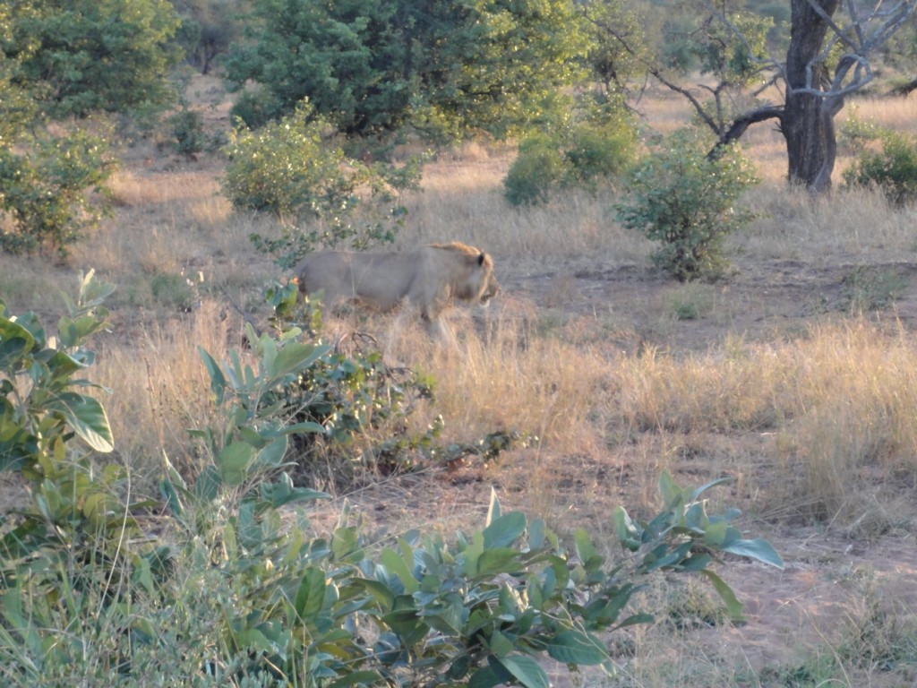 Subadult/adult male Lion following a female in Kruger National Park