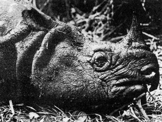 Head of a male Javan rhino (1934).