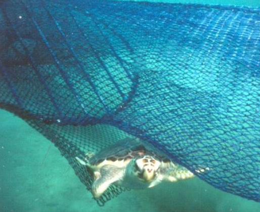 Loggerhead Turtle escaping a trawl net equipped with turtle excluder device (TED). By U.S. National Oceanic and Atmospheric Administration.