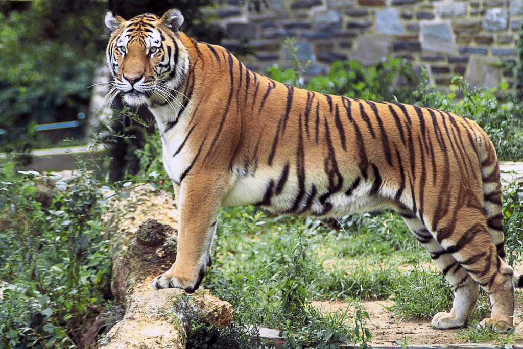 A Bengal Tiger, photograph by John and Karen Hollingsworth, US Fish and Wildlife Service (Public Domain)