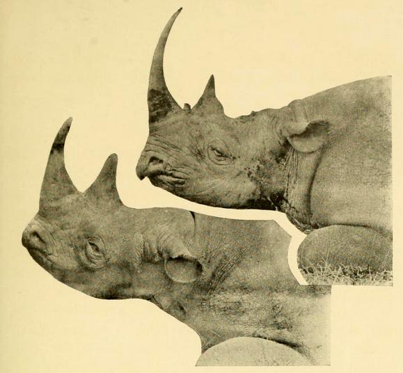 The Big Game of Africa (1910) - Black Rhino (top-right) & White Rhino (bottom-left)