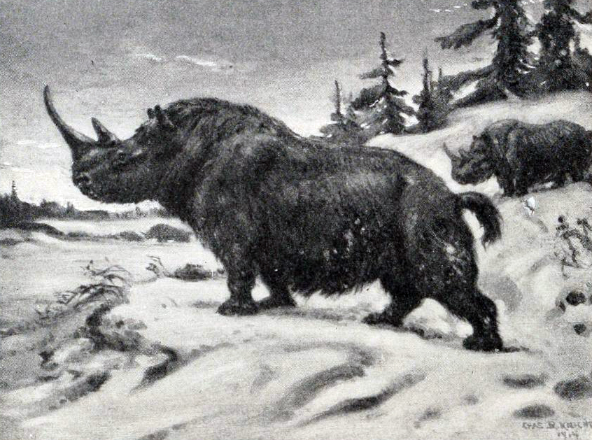 A depiction of a Woolly Rhinoceros by Charles R. Knight.
