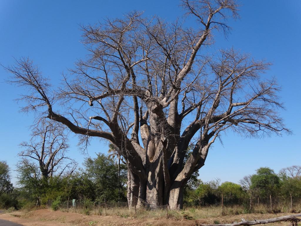 "Victoria Falls, Zimbabwe: ""The Big Tree"" Baobab (Adansonia digitata)."