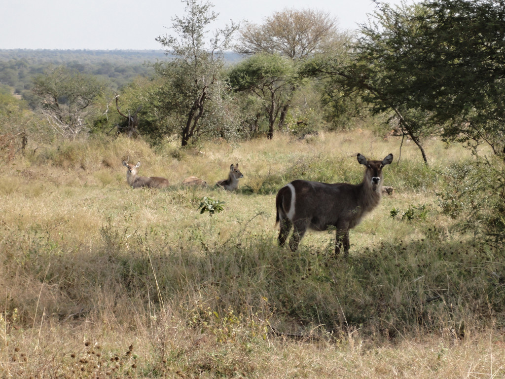 ellipsen_waterbuck_with_young_lrg